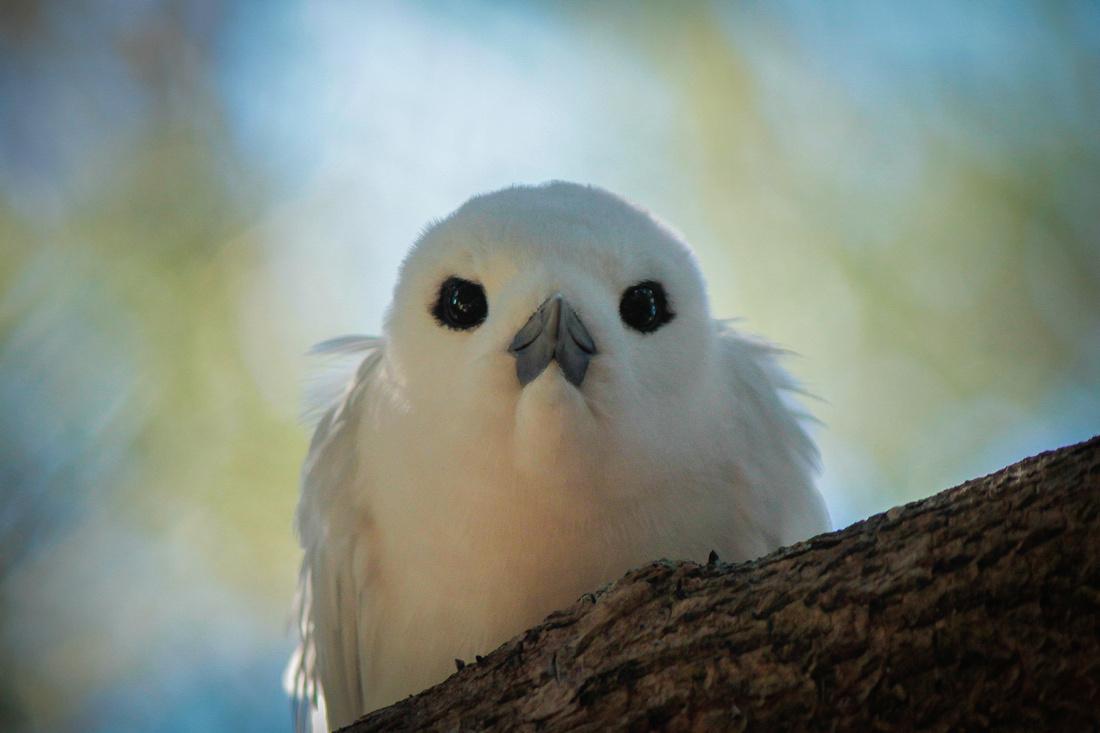 White Tern LHI