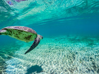 Lord Howe Turtle Diving